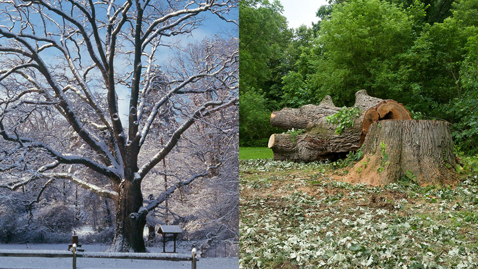 The 300-year-old Burr Oak in 2002 (left) and today (right).