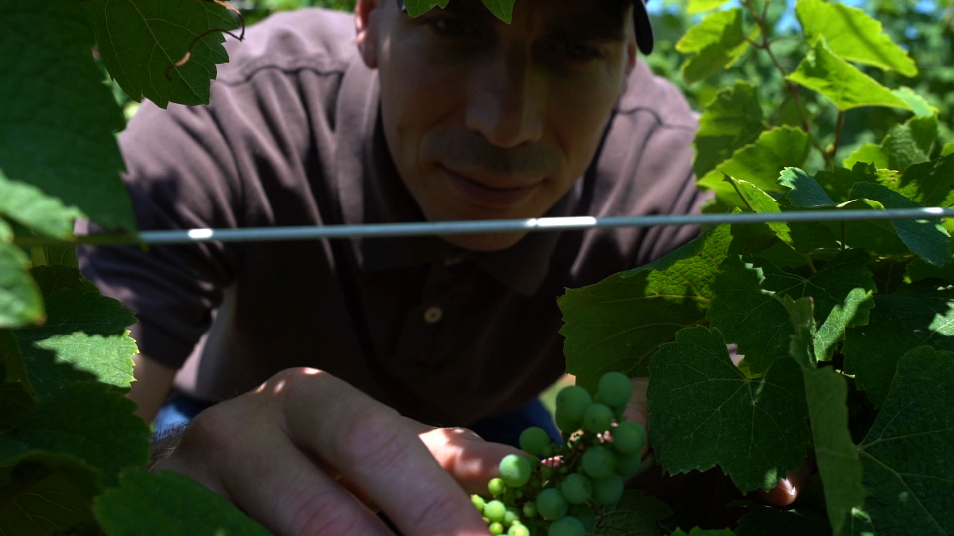 Mount Nittany Winery's Scott Hilliker examines grapes on a vine