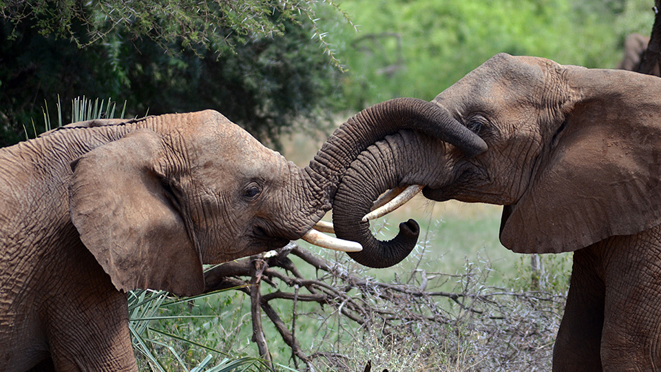 Young elephants interacting