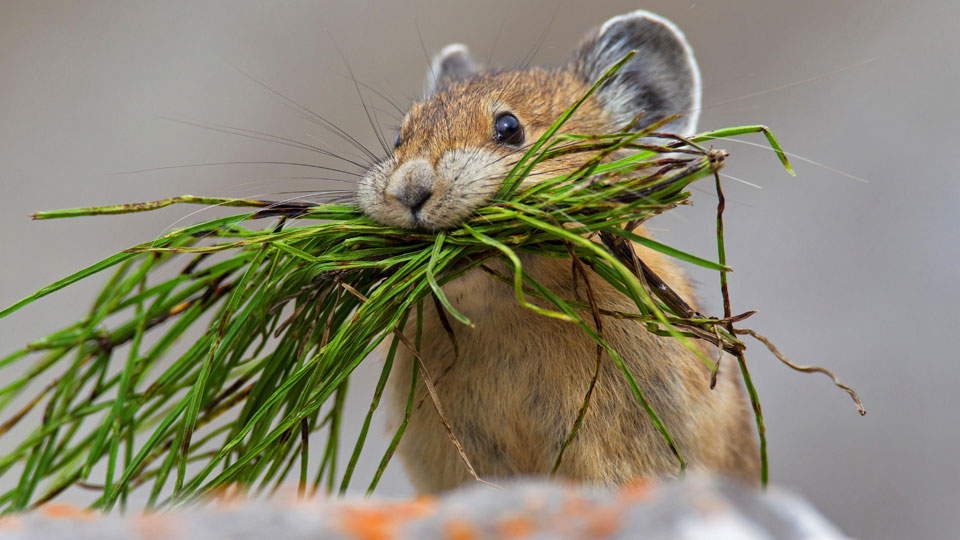 An American pika, native to alpine regions of Canada and the United States, with a mouthful of vegetation in rocky terrain.