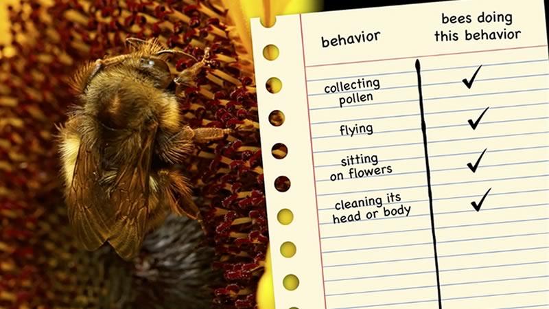 observe bumblebees