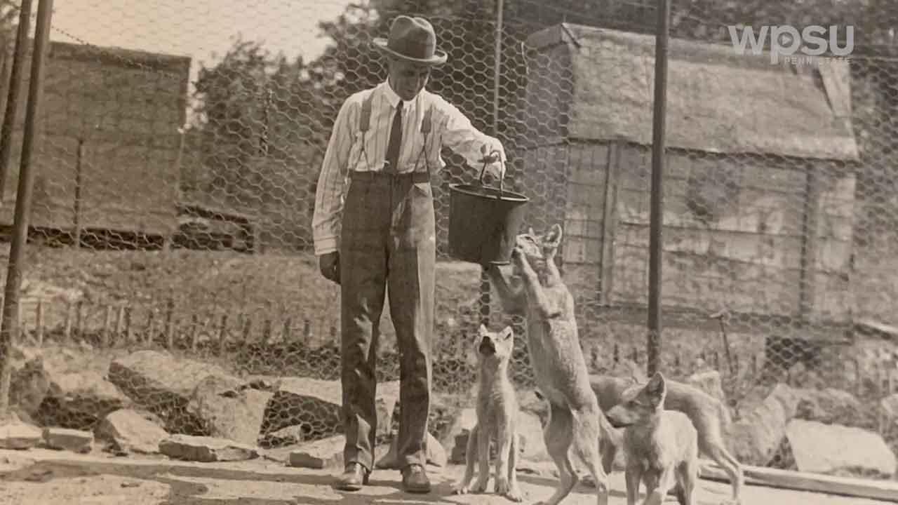 Edward Herber McCleery feeding a lobo wolf